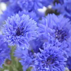 Blue Cornflowers.. have these growing now and love them!!! ♥ be sure to buy more seeds of these next year