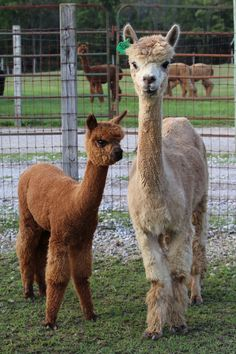 Irreplacable and Cria 2014