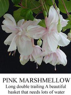 Pink Marshmallow fuchsia