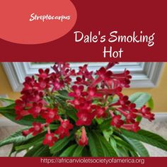 There's a fire here! Dale's Smoking hot grown by Terri Vicenzi. @gessielover  Terri gave an awesome presentation on streps at the recent AVSA conference! #DalesSmokingHot #DMartenHybrids  #Gesneriad #gesneriadsocietyofamerica #Streptocarpus #AVSA #IndoorPlant #Houseplant #AfricanVioletSocietyOfAmerica #flowers #bloom #flowerstagram #FlowersOfInstagram Leafy Plants, Indoor Plants, Saintpaulia, Carnivorous Plants, Natural Garden, Companion Planting, Flower Pictures, Houseplants, Perennials