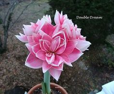 Amaryllis Dutch 'Double Dream' Bulbs - Hippeastrum