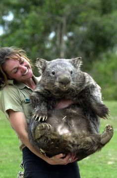 Wombats - they look like they have a great sense of humour, don't they? Rare Animals, Funny Animals, Cutest Animals, Cute Wombat, Cute Australian Animals, The Wombats, Quokka, Animal Magic, Weird Creatures