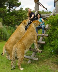 Ligers are MAGNIFICENT!