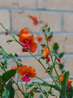 Flame pea flowers