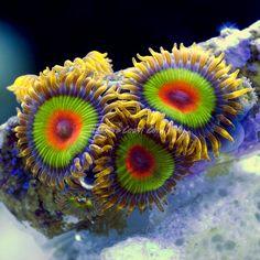 zoas - Google Search #soft #coral #softcoral #marine #marinetank #tank #aquarium #marineaquarium #nanotank #nanoaquarium #reefaquarium #reeftank #sea #saltwater #saltwatertank #saltwateraquarium #animal #fish #fishes #corals #zoa #zoas #zoanthid #zoanthids