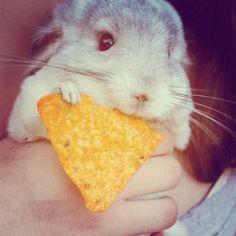 Chinchillas eating Doritos: