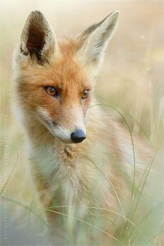 Ein schöner Fuchs