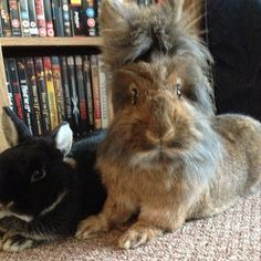 I have a bunny like the brown one...with the wild fur and all, he is a lionhead.