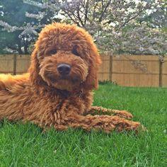 Double Doodle Puppy goldendoodle x labradoodle = doubledoodle @doodlejackson