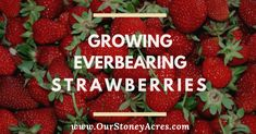 Garden Landscaping If you love strawberries, why not grow your own? Everbearing strawberries produce a continuous harvest of sweet medium-sized berries from late spring until the first freeze of winter! They are a great option for every backyard garden! Fruit Garden, Edible Garden, Garden Plants, Strawberry Garden, Strawberry Patch, Strawberry Plants, Green Garden, Potted Plants, Gardening For Beginners