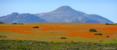 The Wild Flowers of Namaqualand (between Kamieskroon and Garies), Namaqualand, Northern Cape, South Africa, August Western Coast, All Nature, Growing Flowers, Ultimate Travel, Beautiful World, Places To See, Wild Flowers, Countryside, South Africa