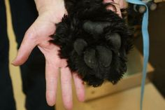The giant paw of a Black Russian Terrier