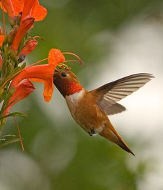 Rufous (copper colored) hummingbirds made their nest and feed from the nectar of a tree in our front yard all summer. They didn't leave till end of October. I loved them.