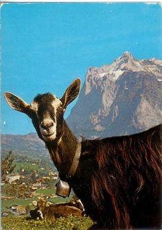 Switzerland - Toggenberg Goat http://rememberingletters.wordpress.com/tag/goat/