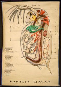 Crustacea I