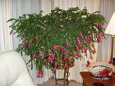 Christmas Cactus Christmas Cactus, Christmas Wreaths, Christmas Ideas, Planting Succulents, Succulent Plants, Fiddle Leaf Fig, Pet Home, All Flowers, Cactus Flower