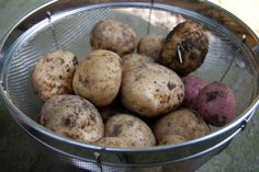 growing potatoes organically: when and how to plant, hill and harvest — A Way to Garden