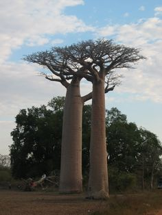Baobab: legend has it that the Gods of the Madagascar people, furious because of the Baobab's beauty and lest it outshine their own, took the Boababs and planted them upside down so that only their roots could be seen. Since then the Baobabs grow upside-down in the southern hemisphere...