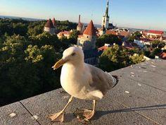 #europe #eurotrip #estonia #tallinn #seagull #model #catwalk #friendly #bird #panorama #niceview #city #lovelittletripstoo #nofilter #iphonephotography