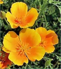The Golden Poppy or California Poppy or California Golden Poppy is the California State Flower. Golden Poppy is a perennial and one of th. California Poppy, California Logo, Flanders Poppy, Online Florist, State Birds, Seed Pods, Flower Pictures, Calla Lily, Flowers