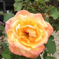 Rose in my garden (Winnipeg, MB)