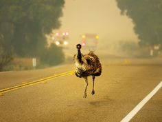 Hundreds of people fled the Potrero wildfire this week. But one emu took matters into its own hands.