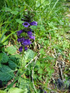 Horminum pyrenaicum presso il Lago di Braies (Bz) http://lefotodiluisella.blogspot.it/2015/02/lago-di-braies.html
