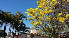 Céu de Vinhedo - Vinhedo/SP agosto/2015 - Por Inês de Barros - Uma das mais exuberantes árvores emoldurada pelo azul celeste... Dia Maravilhoso!!