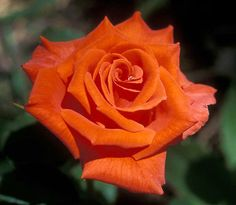'Prominent' Hybrid Tea Rose