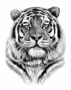 Richard Symonds Wildlife Art Gallery And Online Shop Drawing - Stunning drawings of endangered wild animals by richard symonds