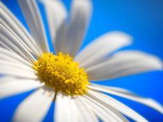 daisy wallpaper by .robbie, via Flickr