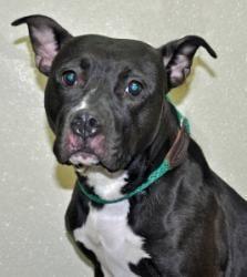 #NEWYORK ~ Pearl is an #adoptable Pit Bull Terrier Dog in #PortWashington…