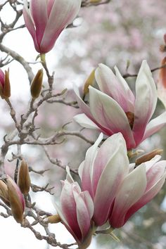 Sweet Magnolias -  fine art nature photography -  Sweet Magnolia flowers in full bloom with accent colors of pink and green bokeh. 8x12
