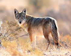 Coyote is spoken of as the trickster in Native American teachings. I've heard the elders tell many tales of his cunning and foolish antics. They also hold coyote in great respect because he is a teacher. Read more at: http://shellyoconnell.com/2015/07/21/coyote-the-wisdom-teacher/