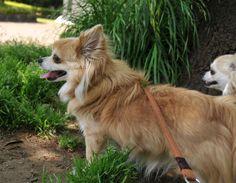 煮えチワワ注意報でてるよー  #暑くなるのが早い #dekachiwa #chihuahua #dog #チワワ #ふわもこ部 #chihuahuaofinstagram