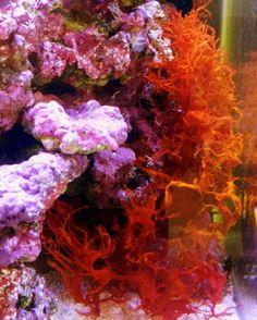 Halymenia - Dragons breath - Flame macroalgae. Isn't the color of this marine macroalgae stunning?! This is a great macro algae for the tank display. #macroalgae #algae #seaweed #marinetank #reeftank #saltwatertank #marineaquarium #reefaquarium #saltwateraquarium #aquarium #seahorseaquarium #marineplants #marinealgae #saltwateralgae #livealgae #marineaquarium #nanotank ##groupboard #group #follow #followme #f4f #followback