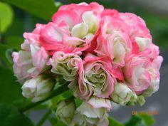 Appleblossom Rosebud
