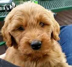 My Goldendoodle puppy, Jemma!