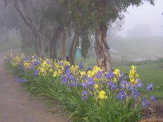 Nola's Iris Farm - San Jose, CA
