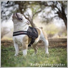 """Buscando la belleza en lo Alto!!!♥️ #bulldogs #bulldogsmcbo"" Photo taken by @capo.bulldogvzla on Instagram, pinned via the InstaPin iOS App! http://www.instapinapp.com (03/31/2015)"