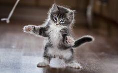 Lataa kuva Harmaa kissanpentu, söpöjä eläimiä, pörröinen kissanpentu, pieni kissa