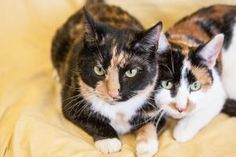 Emmie and Rubidee are a wonderful pair of 2-year-old kitties, Emmie in her striking tortoiseshell coat (at left in photos) and Rubidee the calico. These girls have been spayed and are ready to go home -- together. They love each other very much, and we're looking for one adopter to take home both of these wonderful cats. Visit Emmie and Rubidee in the Cat Community Center.