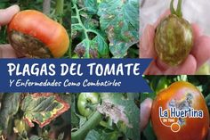 Acabar con el hambre es posible: La Quinoa - La Huertina De Toni Compost, Gardening Tips, Cactus, Lily, Organic, Patio, Sprouts, Vegetables, Nature