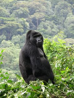 Mountain Gorilla, Bwindi Impenetrable Forest, Uganda.