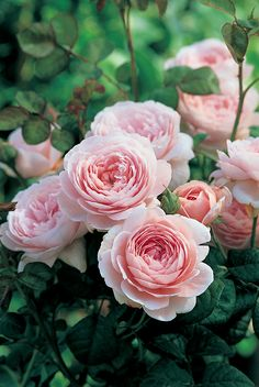 Queen of Sweden BLUSH PINK DAVID AUSTIN TALL UPRIGHT SHRUB DISEASE RESISTANT USE BACK OF BED OR TALL BORDER