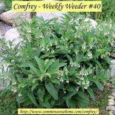 Comfrey - Weekly Weeder #40 @ Common Sense Homesteading