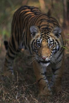 Bengal tiger, Bandhavgarh, India. (Takayuki Maekawa, courtesy Steven Kasher Gallery)