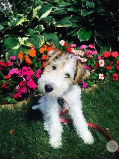 Cute Wire Haired Fox Terrier Dog