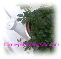 Комнатные растения для души и настроения: Девичий виноград осенью, зимою, летом и весною: ух...