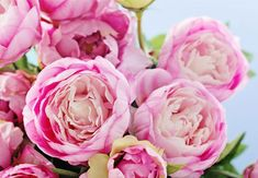 From planting peonies to peony care, there are plenty floral facts you should know before peony season. Tapete Pink, Garden Plants, House Plants, Indoor Plants, Peony Care, Peonies Season, Growing Peonies, Decoration Plante, Flowers Decoration